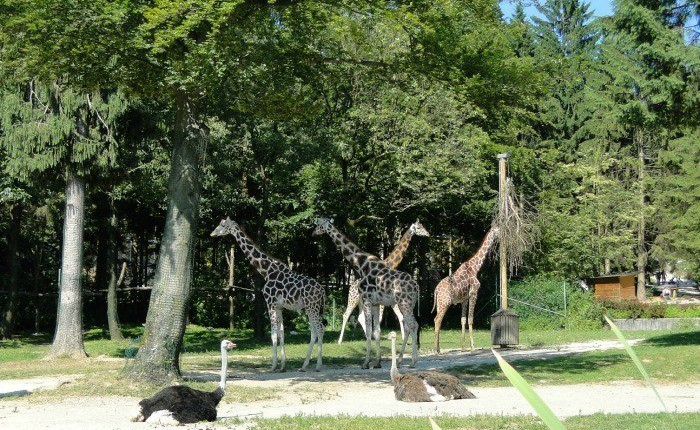 Ljubljana-zoo-giraffes